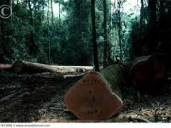 Illegal logging in Cote d'Ivoire